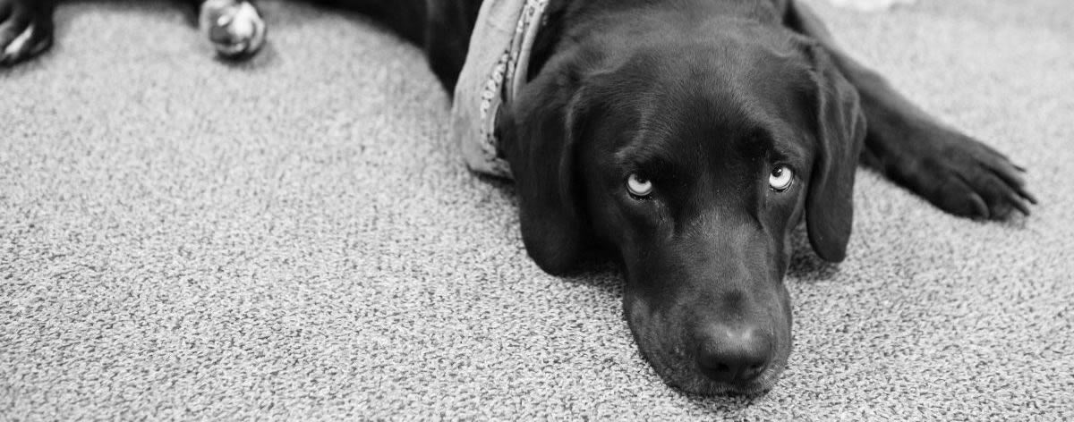 Black and white image of a black lab wearing a bandanna, laying on the floor.