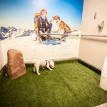 Picture of a small white dog using the Pet Relief Area at Denver International Airport, which is a small room with high quality astroturf, a large fake rock and a small trash can on the ground, and a large photographic mural on the back wall of a person and dog atop the snowy mountain peaks.