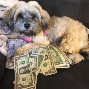 Picture of a small white dog lying down with dollar bills fanned out in front of it.