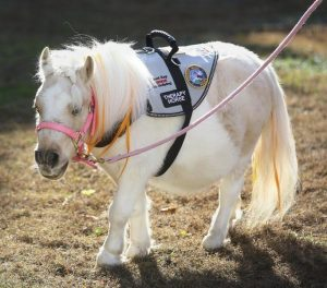 "Picture of a white miniature horse wearing a white vest that features patches, one of which clearly reads ""THERAPY HORSE."""